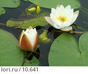 Купить «Белые кувшинки (Nymphaea alba)», фото № 10641, снято 28 июля 2004 г. (c) Вячеслав Потапов / Фотобанк Лори