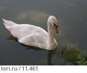 Купить «Лебедь на пруду», фото № 11461, снято 22 августа 2004 г. (c) Дмитрий Б / Фотобанк Лори