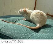 Крыска. Стоковое фото, фотограф Екатерина / Фотобанк Лори