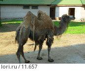 Старый верблюд... Стоковое фото, фотограф Екатерина / Фотобанк Лори