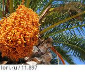 Купить «Финиковая пальма», фото № 11897, снято 18 сентября 2006 г. (c) Юрий Синицын / Фотобанк Лори