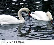 Купить «Лебеди», фото № 11969, снято 27 октября 2006 г. (c) Рыжов Андрей / Фотобанк Лори