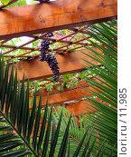 Купить «Свисающая гроздь винограда», фото № 11985, снято 28 сентября 2006 г. (c) Юрий Синицын / Фотобанк Лори