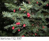 Купить «Плоды тиса ягодного», фото № 12197, снято 18 октября 2005 г. (c) Вячеслав Потапов / Фотобанк Лори