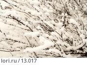Купить «Куст карликовой полярной  березы,  укрытый пушистым снегом, фон», фото № 13017, снято 12 ноября 2006 г. (c) Ольга Красавина / Фотобанк Лори