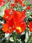 Тюльпан, фото № 13157, снято 29 марта 2017 г. (c) Удодов Алексей / Фотобанк Лори