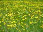 Одуванчиковая поляна, фото № 13501, снято 4 июня 2006 г. (c) Ivan I. Karpovich / Фотобанк Лори