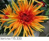 Купить «Рыжая хризантема», фото № 15333, снято 11 декабря 2006 г. (c) Комиссарова Ольга / Фотобанк Лори