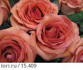 Купить «Розы», фото № 15409, снято 14 декабря 2006 г. (c) Комиссарова Ольга / Фотобанк Лори