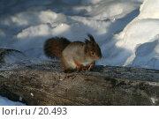 Купить «Белка на бревне», фото № 20493, снято 11 февраля 2007 г. (c) Николай Гернет / Фотобанк Лори