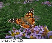 Купить «Бабочка а Ботаническом саду», фото № 21525, снято 7 августа 2005 г. (c) Fro / Фотобанк Лори