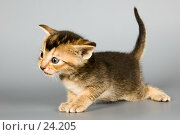 Купить «Котёнок абиссинской породы в студии», фото № 24205, снято 10 марта 2007 г. (c) Vladimir Suponev / Фотобанк Лори