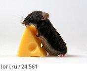Черный мышонок с куском сыра. Стоковое фото, фотограф Агата Терентьева / Фотобанк Лори