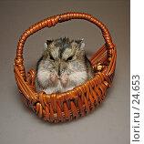 Купить «Джунгарский хомячок сидит в корзинке», фото № 24653, снято 18 марта 2007 г. (c) Fro / Фотобанк Лори