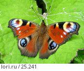 Купить «Павлиний глаз», фото № 25241, снято 15 июля 2004 г. (c) Вячеслав Потапов / Фотобанк Лори