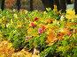 """Аллея из георгинов """"веселые ребята"""", усыпанная желтыми осенними кленовыми листьями, фото № 28485, снято 15 октября 2006 г. (c) Ольга Хорькова / Фотобанк Лори"""