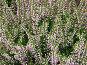 Куст цветущего декоративного вереска, фото № 28597, снято 3 сентября 2006 г. (c) Ольга Хорькова / Фотобанк Лори
