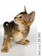 Купить «Котёнок в студии», фото № 29041, снято 31 марта 2007 г. (c) Vladimir Suponev / Фотобанк Лори