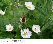 Купить «Пчела, посетившая цветок земляники», фото № 30165, снято 4 июня 2006 г. (c) Сергей Ксейдор / Фотобанк Лори