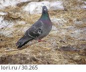 Купить «Позирующий голубь», фото № 30265, снято 18 июля 2019 г. (c) Сергей Ксейдор / Фотобанк Лори
