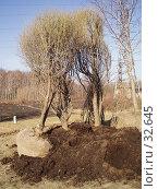 Купить «Деревья, подготовленные к посадке», фото № 32645, снято 17 февраля 2019 г. (c) Golden_Tulip / Фотобанк Лори