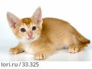 Купить «Котёнок абиссинской породы», фото № 33325, снято 8 апреля 2007 г. (c) Vladimir Suponev / Фотобанк Лори