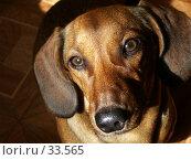 Купить «Собака по имени Веста», фото № 33565, снято 24 июня 2004 г. (c) Галина  Горбунова / Фотобанк Лори