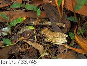 Купить «Litoria rothii. Roth's Tree Frog, Northern Laughing Tree Frog. Древесная лягушка сидящая на опавшей листве в буше.», фото № 33745, снято 7 мая 2007 г. (c) Eleanor Wilks / Фотобанк Лори