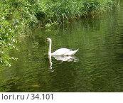 Купить «Белый лебедь на пруду», фото № 34101, снято 2 июля 2006 г. (c) Кардаков Алексей Игоревич / Фотобанк Лори