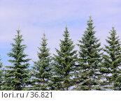 Купить «Елочки на фоне неба», фото № 36821, снято 10 июля 2005 г. (c) Андрей Яшин / Фотобанк Лори