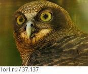Купить «Rufous Owl, Ninox rufa. Голова совы.», фото № 37137, снято 22 апреля 2007 г. (c) Eleanor Wilks / Фотобанк Лори