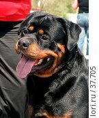 Портрет  собаки  породы ротвейлер. Стоковое фото, фотограф Андрей Жданов / Фотобанк Лори