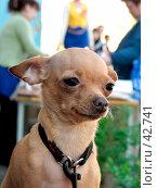 Купить «Собака породы той-терьер», фото № 42741, снято 17 июля 2018 г. (c) Андрей Жданов / Фотобанк Лори