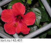 Купить «Цветок гибискуса», фото № 43401, снято 31 июля 2006 г. (c) Рамиль / Фотобанк Лори