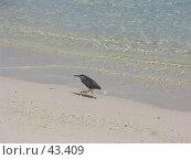 Купить «Кваква зеленая (Butorides striatus (Linnaeus, 1758), Striated Heron) на песчаном морском берегу», фото № 43409, снято 11 марта 2005 г. (c) Рамиль / Фотобанк Лори