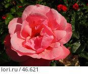 Купить «Роза под ярким летним солнцем», фото № 46621, снято 12 июня 2004 г. (c) Harry / Фотобанк Лори