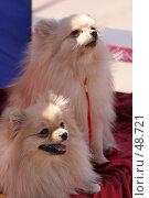 Купить «Пара маленьких собачек», фото № 48721, снято 19 мая 2007 г. (c) Евгений Батраков / Фотобанк Лори