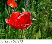 Купить «Красный мак», фото № 52873, снято 6 июня 2007 г. (c) Тютькало Игорь / Фотобанк Лори