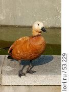 Купить «Утка», фото № 53229, снято 17 июня 2007 г. (c) Golden_Tulip / Фотобанк Лори