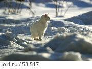 Купить «Белая кошка на снегу», фото № 53517, снято 15 января 2006 г. (c) Морозова Татьяна / Фотобанк Лори