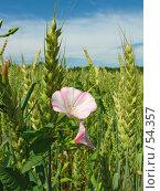 Купить «Вьюнок полевой (лат.Convolvulus arvensis)», фото № 54357, снято 19 июня 2007 г. (c) Петрова Ольга / Фотобанк Лори