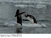 Купить «Пингвины Папуа», фото № 54813, снято 25 декабря 2006 г. (c) Vladimir / Фотобанк Лори