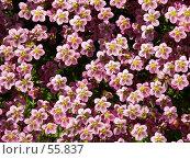 Купить «Розовые цветы», эксклюзивное фото № 55837, снято 27 мая 2007 г. (c) Михаил Карташов / Фотобанк Лори
