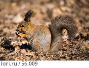 Купить «Белка с орехом», фото № 56009, снято 12 апреля 2007 г. (c) Argument / Фотобанк Лори