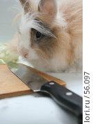 Купить «Пушистый кролик из которого получится вкусный  обед», фото № 56097, снято 6 октября 2006 г. (c) Останина Екатерина / Фотобанк Лори