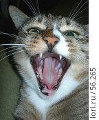 """Купить «""""Страшнее кошки зверя нет"""" (кошка зевает)», фото № 56265, снято 28 июня 2007 г. (c) Татьяна Юни / Фотобанк Лори"""