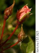 Купить «Бутоны розы», фото № 57921, снято 1 июля 2007 г. (c) Смирнова Лидия / Фотобанк Лори