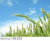 Купить «Лето.Созревает пшеница», фото № 58033, снято 19 июня 2007 г. (c) Петрова Ольга / Фотобанк Лори