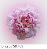 Купить «Цветок пиона», фото № 58409, снято 11 июня 2007 г. (c) Анатолий Теребенин / Фотобанк Лори