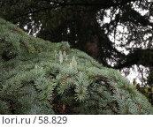 Купить «Хвойное растение с молодыми шишками», фото № 58829, снято 10 сентября 2005 г. (c) Елена Руденко / Фотобанк Лори